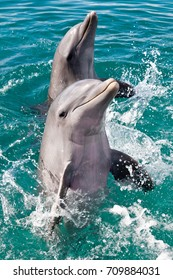 Dolphins dancing in the Caribbean