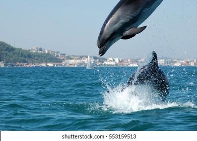 Dolphins of the estuary of the river Sado, Setubal, Portugal