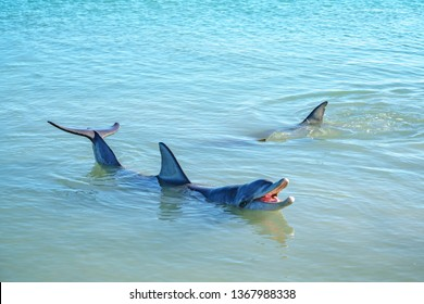 dolphins in the ocean at monkey mia, sharkes bay, western australia