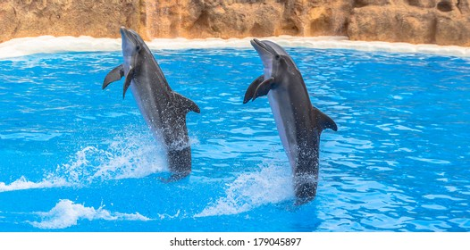 Dolphins performing a tail stand in a pool in a park show.