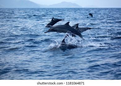 Dolphins in Raja Ampat