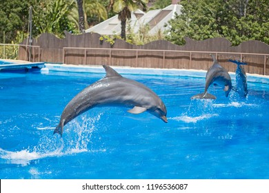 Dolphins show in a pool.