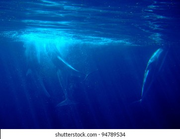 Dolphins Silhouettes Underwater in a Deep Blue Water