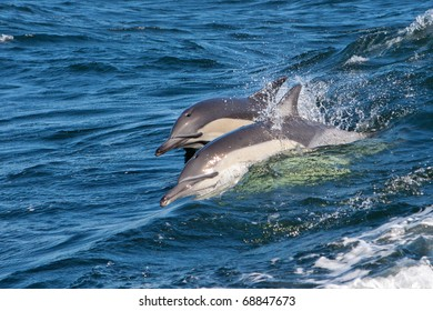 Dolphins, South Africa