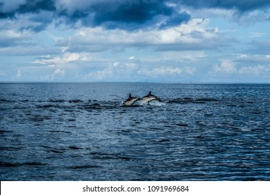 Dolphins in the Summer Isles, Scotland