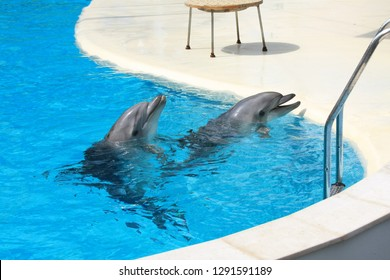 Dolphins swim in a dolphin pool