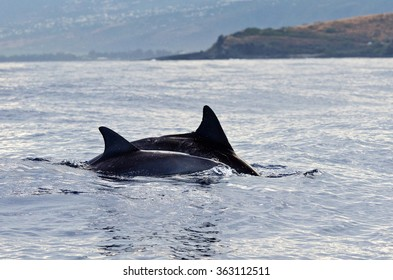 Dolphins swim on the westcoast of Reunion Island in the Indian Ocean