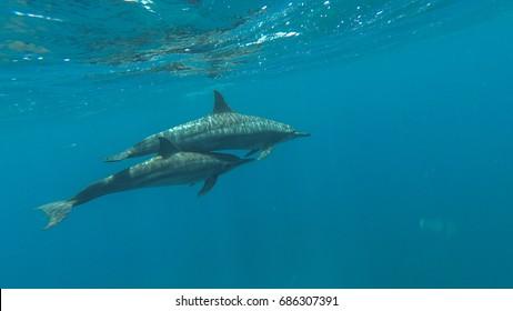 Dolphins swim in the sea. Red sea. Marsa Alam