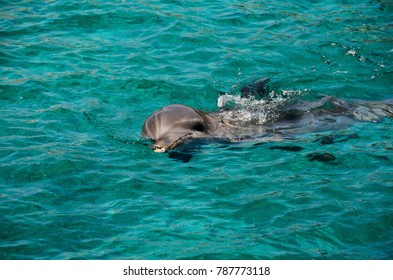 dolphins swimming in Caribbean Sea water