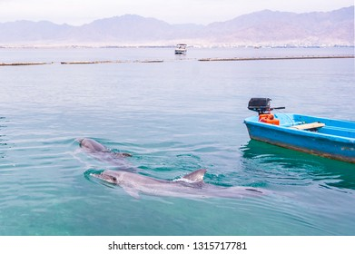 Dolphins swimming near the passenger boat in Red Sea waters in Eilat, Southern Israel with Jordan on the background