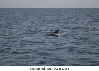 Dolphins swimming in the ocean at Zanzibar, Tanzania (Africa)