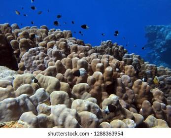 Dome Coral, Porites nodifera, Fury Shoal, Red Sea, Egypt