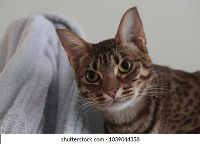 domestic animal - beautiful young stripped ocicat cat portrait in a bathroom with white background and white robe detail