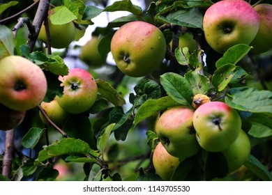 Domestic apples, Malus x Domestica are ready to to pick at the peak of flavor. Ripe fruits are ready to harvest. Apple tree is full of tasty and fresh fruit. Full of flavor, selective focus