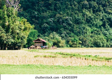 Domestic Asian water buffalo -Bubalus bubalisand Wooden house in the countryside with field and mountains in Laos