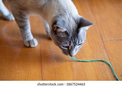 domestic blue eyes mixed breed cat