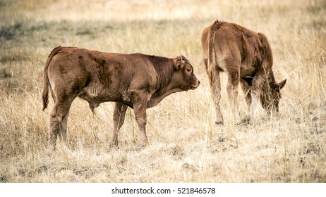 Domestic Bovine. Horizontal composition.