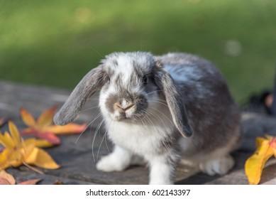 domestic bunny rabbit on the grass