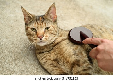 Domestic cat being brushed by a woman.