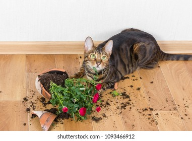 Domestic cat breed toyger dropped and broke flower pot with red roses and looks guilty. Concept of damage from pets.