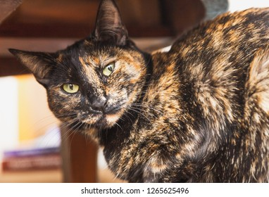 Domestic cat with bright green/yellow eyes and black/brown fur.