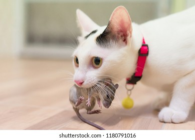 Domestic cat carrying small rodent rat  in house,white cat catching a mouse.