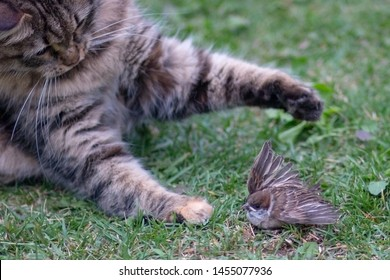 Domestic cat caught a bird outdoors on the green grass. Lucky hunter playing with his victim sparrow. Predatory cat.