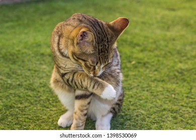domestic cat cleaning and lick his foot sit on green grass back yard ground surface