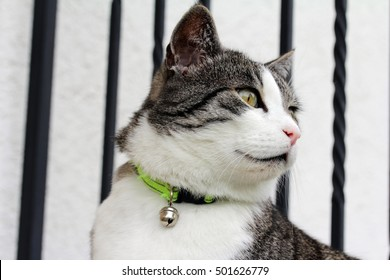 A domestic cat with collar and bell around his neck. Cat with bells to prevent bird hunting