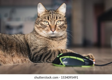 domestic cat and computer mouse. Concept cat caught a mouse.