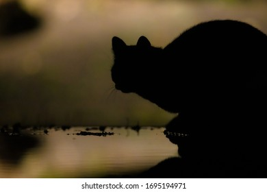 Domestic cat (Felis silvestris catus) hunting in the garden at night. Domestic cats kill millions of mice and birds per year. Causing a major ecological impact on wildlife.