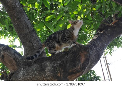 Domestic cat (Felis silvestris catus) with marble-patterned fur (classic tabby), is playing around climbing mango trees