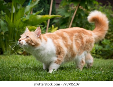 Domestic cat in ia garden on a grass lawn, looking up, hunting.