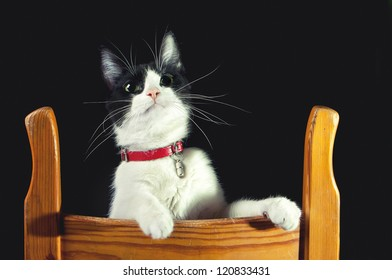 Domestic cat playing on wooden chair, studio.