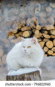 Domestic cat portrait. Beautiful white Turkish angora cat with yellow eyes. Fluffy white cat on a snow in front of the pile of firewood.