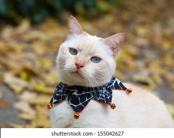 Domestic cat (Siamese mix) in a Halloween collar
