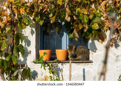 domestic cat sitting next to two flower pots on a window sill of a white lime washed cottage and blue window framed by vine with autumn foilage in the morning sun