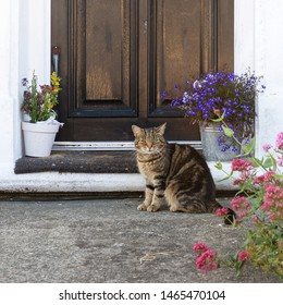 Domestic cat sitting outside of a front house door betweet pots of plants and flowers.