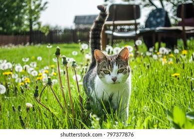 Domestic cat in the village yard