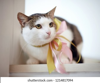 The domestic cat, white with striped spots, with a bow on a neck, sits on a window sill.