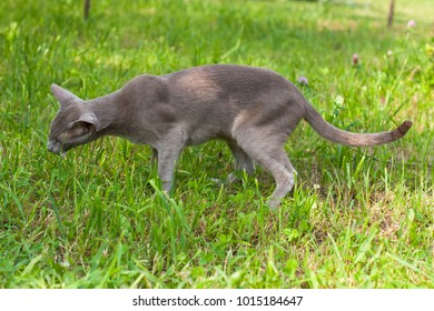Domestic Cat. Young Gray Cat Of Oriental Breed Eats Fresh Grass In Garden In Spring.