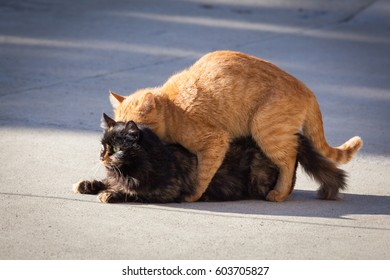 Domestic cats in the act of mating