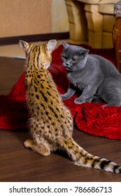 Domestic cats play