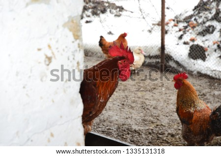Domestic Chickens Fence Winter Stock Photo (Edit Now