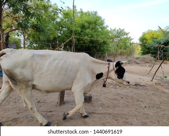 Domestic cows are one of the most common farm animals around the world, and the English language has several words to describe these animals at various ages. A baby cow is called a calf. A female calf