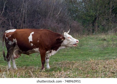 Domestic cows are walking, resting and grazing freely in the pasture