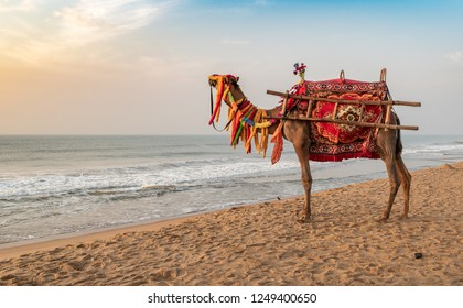 A domestic decorated camel, standing on the Puri sea beach. Camel riding on the beach is a popular tourist activity at Puri. Orissa.