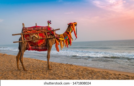 A domestic decorated camel, standing on the Sea beach.