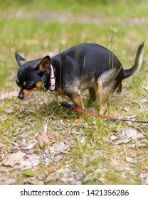 Domestic dog a female short haired black and brown Chihuahua outdoors pooping on grass