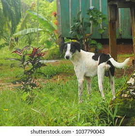 Domestic dog in an indigenous community on a Caribbean island off the west coast of Panama south of Bocas del Toro